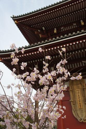 2011桜と雷門