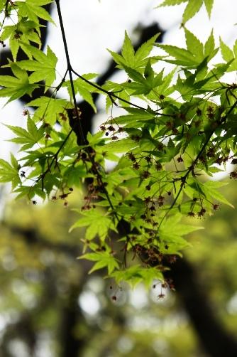 桜は終わり新緑の伝法院