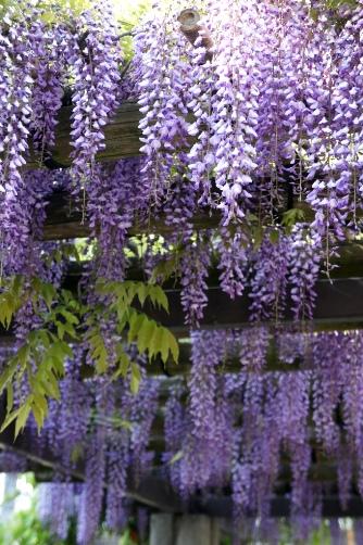 清澄白河の藤の花