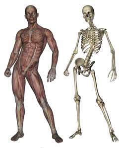 骨格・筋肉