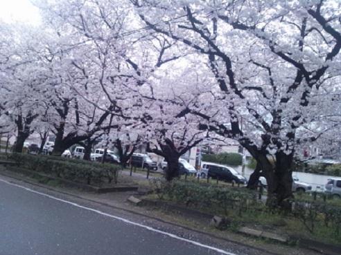 桜・風に舞う