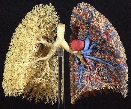 肺の細気管支と血管