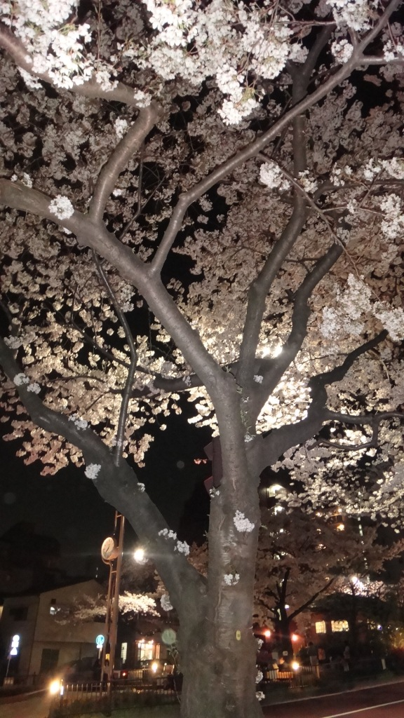 満開の桜・幹1