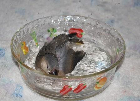二番目の雛ちゃん初水浴び