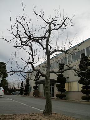 剪定を待つ花梨の木(12-2-21)