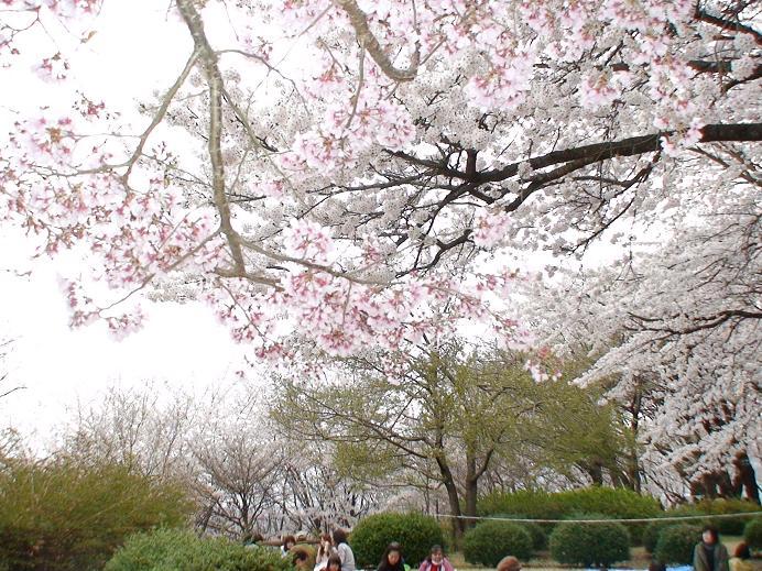 甲州桃源郷ブロガー協会のお花見イベント