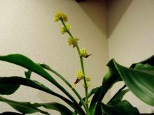 ユッカの花2