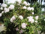 シャクナゲ(薄ピンク)木