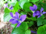 山のすみれ(濃い紫)