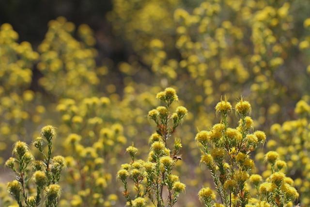 YellowStarflower群生