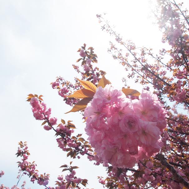 sakura2011-2.jpg