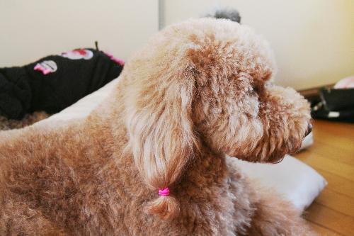 ゴールデンドゥードルの子犬の母 たまごママ