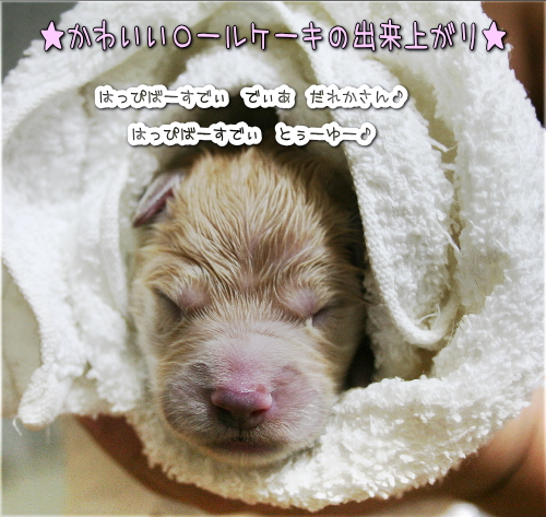 ゴールデンドゥードルの子犬