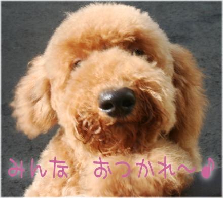 スタンダードプードル 子犬