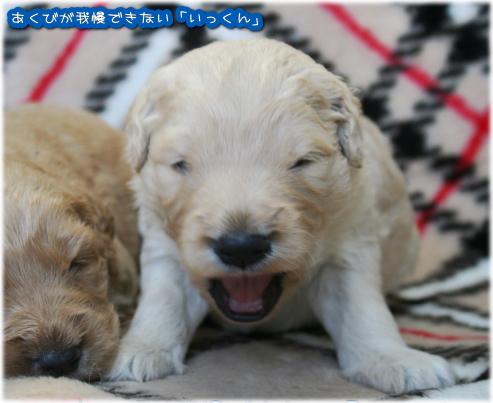 ゴールデンドゥードル ブリーダーBABYBOOの子犬 いっくん
