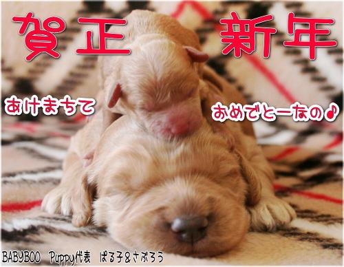 ゴールデンドゥードル&トイプードル 子犬