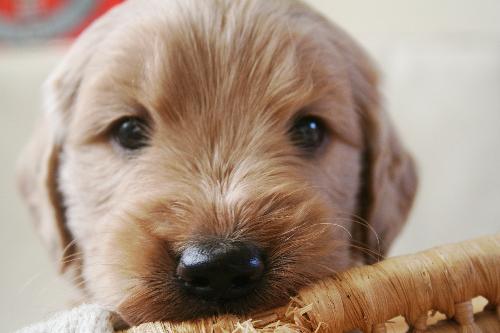 ゴールデンドゥードル 子犬