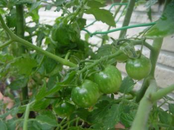 tomatomas.jpg
