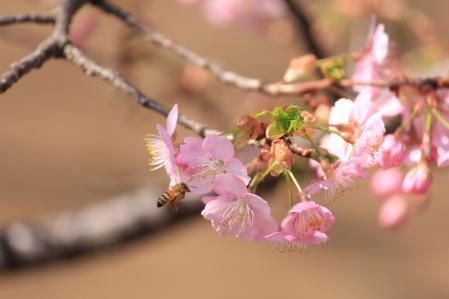 河津桜_800