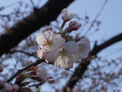 sakura-20110418.jpg