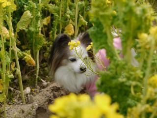 菜の花パピ1