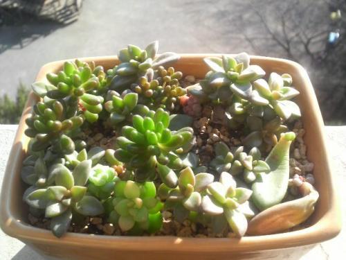 20090119葉挿し鉢4