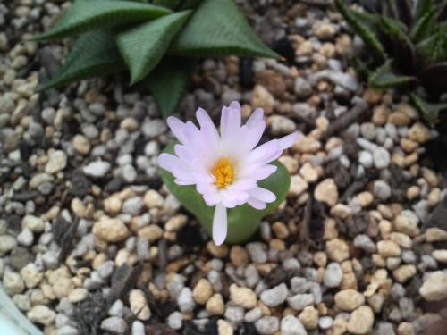 20081011母のオフタルモ開花2