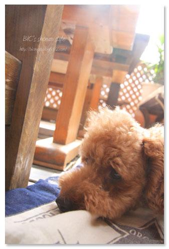 葉山,菊水亭,犬,ランチ