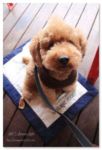 モキチ,茅ヶ崎,犬