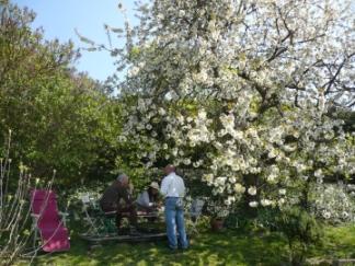 ノルマンディの桜