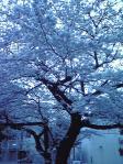 冷たい桜。