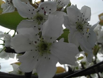 2011梨花粉2