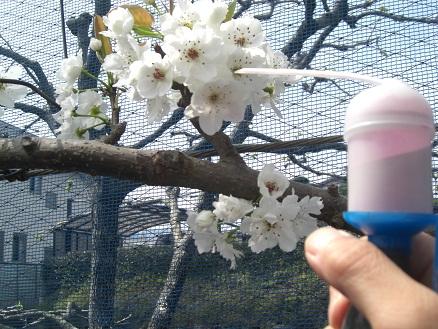 2011梨花粉6