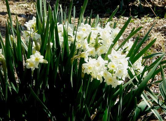 11.3.27ブログ用冨士、欅、月例、氷川神社の倒れた灯篭 (35)