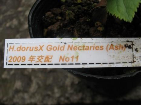 H.Odorus×Gold Nectaries(Ash)2