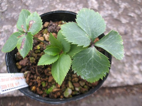 H.Odorus×Gold Nectaries(Ash)1