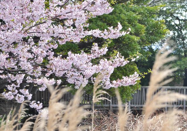 さくら桜-04