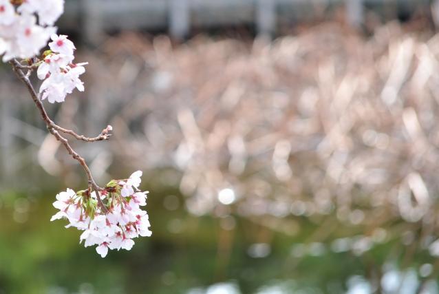 さくら桜-02