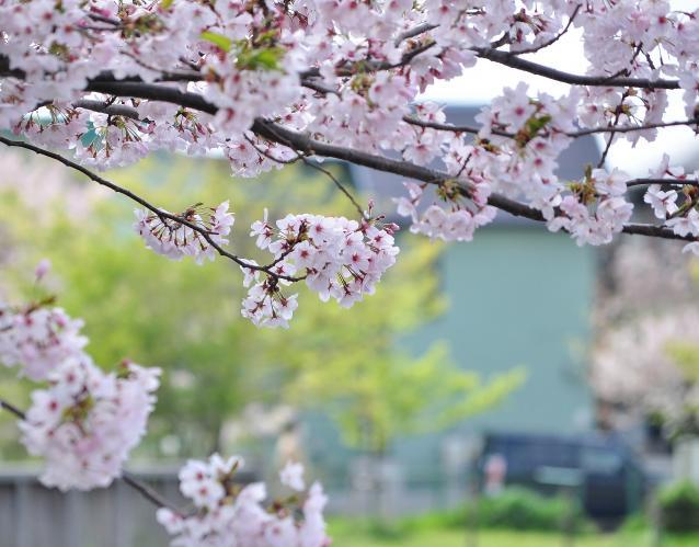 さくら桜-03
