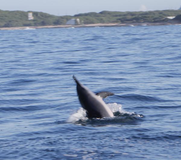 Spinner Dolfin