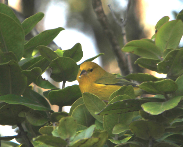 Kauai Native Birds
