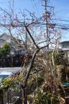 昼過ぎの梅の開花2