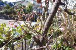 昼過ぎの梅の開花3