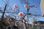 昼過ぎの梅の開花4