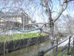 薬師川のしだれ桜開花間近2