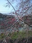薬師川のしだれ桜開花間近4