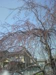 薬師川のしだれ桜開花間近3