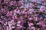 開花の桜の花