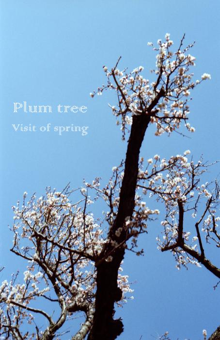 Plum tree3