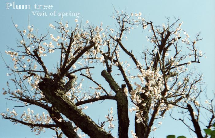 Plum tree1